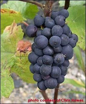 http://wine.appellationamerica.com/images/grapes/web_photo-PinotNoir.jpg